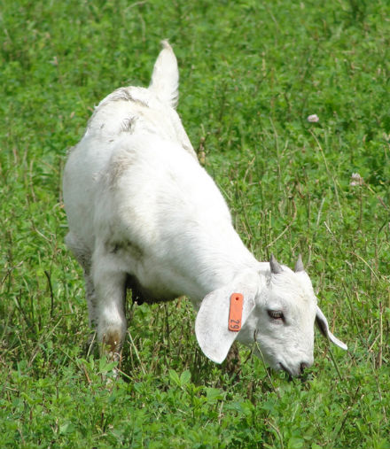 goat grazing in the grass