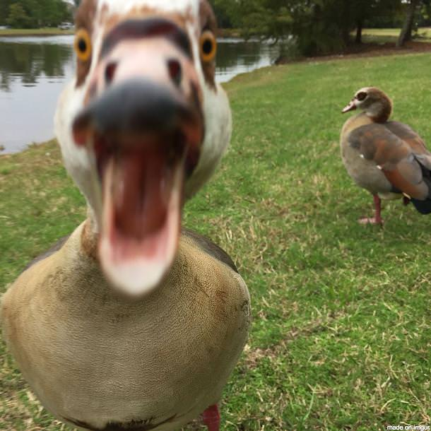 A duck attacking the camera view.
